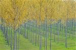 Poplar Trees, Lombardy, Italy Stock Photo - Premium Royalty-Free, Artist: Martin Ruegner, Code: 600-02883193