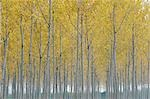 Poplar Trees, Lombardy, Italy Stock Photo - Premium Royalty-Free, Artist: Martin Ruegner, Code: 600-02883194