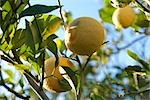 Oranges ripening on branch Stock Photo - Premium Royalty-Free, Artist: Photocuisine, Code: 632-02885569
