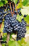 Red Grapes Growing on Vine Stock Photo - Premium Royalty-Free, Artist: Koolstock, Code: 600-02886201