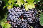 Red Grapes Growing on Vine Stock Photo - Premium Royalty-Free, Artist: Koolstock, Code: 600-02886203