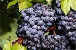 Red Grapes Growing on Vine Stock Photo - Premium Royalty-Free, Artist: Koolstock, Code: 600-02886204