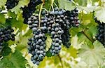 Red Grapes Growing on Vine Stock Photo - Premium Royalty-Free, Artist: Koolstock, Code: 600-02886205
