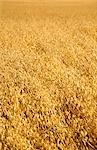 Oats Crop Ready for Harvest, Australia
