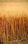 Oats Crop Ready for Harvest, Close-Up, Australia