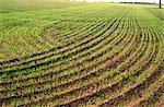 Wheat Crop Sprouting, Australia