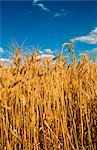 Wheat Crop Ready for Harvest, Australia