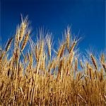 Close-up of Wheat Ready for Harvest