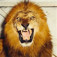 roar lion head picture - Lion Roaring Stock Photo - Premium Royalty-Freenull, Code: 600-02886526