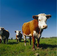 Beef Cattle Grazing, Australia Stock Photo - Premium Royalty-Freenull, Code: 600-02886615