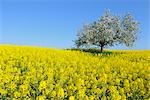 Blooming Apple Tree in Canola Field, Spessart, Bavaria, Germany Stock Photo - Premium Rights-Managed, Artist: Raimund Linke, Code: 700-02886960