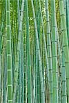 Bamboo Forest, Sagano, Arashiyama, Kyoto, Kyoto Prefecture, Kansai, Honshu, Japan Stock Photo - Premium Rights-Managed, Artist: Rudy Sulgan, Code: 700-02887255