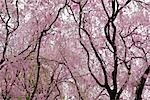 Cherry Blossoms, Heian Jingu Shrine, Kyoto, Kyoto Prefecture, Kansai, Honshu, Japan