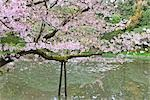 Cherry Blossoms, Heian Jingu Shrine, Kyoto, Kyoto Prefecture, Kansai, Honshu, Japan Stock Photo - Premium Rights-Managed, Artist: Rudy Sulgan, Code: 700-02887261