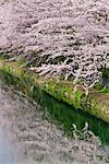 Cherry Blossoms, Kamo River, Kyoto, Kyoto Prefecture, Kansai, Honshu, Japan