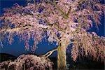 Cherry Blossoms, Maruyama Park, Kyoto, Kyoto Prefecture, Kansai, Honshu, Japan