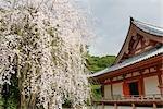 Cherry Blossoms, Daigoji Temple, Fushimi, Kyoto, Kyoto Prefecture, Kansai, Honshu, Japan