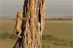Cheetah Cub Climbing Tree, Masai Mara, Kenya Stock Photo - Premium Rights-Managed, Artist: Ken & Michelle Dyball, Code: 700-02887428