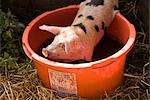 Spotted Piglet Stock Photo - Premium Rights-Managed, Artist: foodanddrinkphotos, Code: 824-02887724