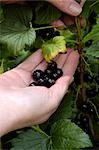 Blackcurrants (Ben Connan) , Ben Sarek-Ben Lomond Cross Stock Photo - Premium Rights-Managed, Artist: foodanddrinkphotos, Code: 824-02888648