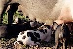 Piglets Stock Photo - Premium Rights-Managed, Artist: foodanddrinkphotos, Code: 824-02889155