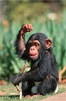 smiling chimpanzee - Portrait of a Baby Chimpanzee (Pan troglodytes) Playing with a Stick Stock Photo - Premium Royalty-Freenull, Code: 682-02890275