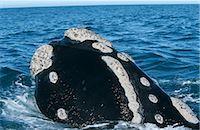 Southern Right Whale (Eubaleana Australis) Spy Hopping in the Ocean Stock Photo - Premium Royalty-Freenull, Code: 682-02890287