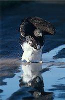 Martial Eagle (Polemaetus bellicosus) Bathing Stock Photo - Premium Royalty-Freenull, Code: 682-02890806