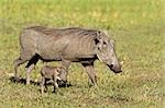 Warthog (Phacochoerus aethiopicus) with its young, Okavango Delta, Botswana Stock Photo - Premium Royalty-Free, Artist: Photosindia, Code: 682-02891793