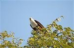 Low angle view of Fish eagle on a tree in lake Kariba, Zimbabwe Stock Photo - Premium Royalty-Free, Artist: IIC, Code: 682-02891845