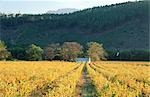 Vineyard and house in Autumn colours.  Franschhoek, Boland District, Western Cape Province, South Africa