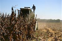 Farm Workers Harvesting Maize Crop Stock Photo - Premium Royalty-Freenull, Code: 682-02894427
