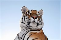Low angle view of a Tiger (Panthera tigris) with blue skies behind. Tiger Canyon Philippolis, Free State Province, South Africa Stock Photo - Premium Royalty-Freenull, Code: 682-02894927