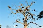 Flock of White Backed Vultures (Gyps africanus) on the branches of a dead tree. Okavango Delta, Botswana, Africa Stock Photo - Premium Royalty-Free, Artist: IIC, Code: 682-02895523