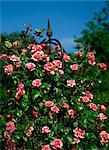 Close-up of pink climbing roses at the Royal Horticultural Society's Garden at Wisley, Surrey, England, United Kingdom, Europe Stock Photo - Premium Rights-Managed, Artist: Robert Harding Images, Code: 841-02899502