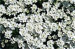 White flowers of candytuft (iberis sempervirens), in May in Devon, England Stock Photo - Premium Rights-Managed, Artist: Robert Harding Images, Code: 841-02902340