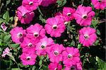 Magenta petunia flowers taken in July Stock Photo - Premium Rights-Managed, Artist: Robert Harding Images, Code: 841-02902367