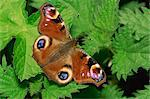 Peacock butterfly (Nymphalis io) on nettles, Devon, England, United Kingdom, Europe Stock Photo - Premium Rights-Managed, Artist: Robert Harding Images, Code: 841-02902399