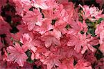 Close-up of azalea flowers, Blaaws Pink, taken in May in Devon, England Stock Photo - Premium Rights-Managed, Artist: Robert Harding Images, Code: 841-02902405