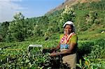 Woman picking tea on tea plantation, Munnar, Western Ghats, Kerala state, India, Asia Stock Photo - Premium Rights-Managed, Artist: Robert Harding Images, Code: 841-02903041