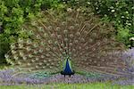 Peacock Stock Photo - Premium Royalty-Free, Artist: Christina Krutz, Code: 600-02903821