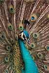 Close-up of Peacock Stock Photo - Premium Royalty-Free, Artist: Christina Krutz, Code: 600-02903823