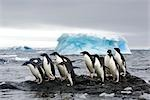 Adelie Penguins, Antarctica Stock Photo - Premium Rights-Managed, Artist: Jamie Scarrow, Code: 700-02912461