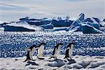 Adelie Penguins, Antarctica Stock Photo - Premium Rights-Managed, Artist: Jamie Scarrow, Code: 700-02912462
