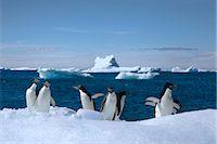 Adelie Penguins, Antarctic Peninsula, Antarctica Stock Photo - Premium Rights-Managednull, Code: 700-02912464