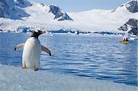 Gentoo Penguin Observing Kayaker, Antarctica Stock Photo - Premium Rights-Managednull, Code: 700-02912470