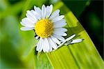 Daisy flower, close-up Stock Photo - Premium Rights-Managed, Artist: F1Online, Code: 853-02914101