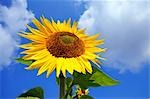 single sunflower, view from below Stock Photo - Premium Rights-Managed, Artist: F1Online, Code: 853-02914402