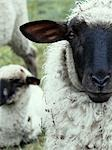sheeps, portrait Stock Photo - Premium Rights-Managed, Artist: F1Online, Code: 853-02914540