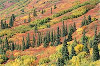 Fall colours in taiga, spruce, willow, dwarf birch and aspen, Susitna Valley, Alaska Range, Alaska, United States of America, North America Stock Photo - Premium Rights-Managednull, Code: 841-02915537